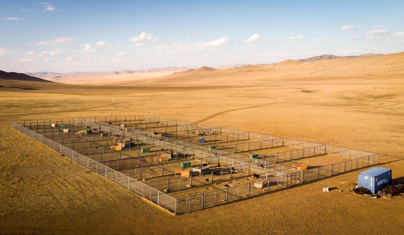 Төслийн хүрээнд 20 банхар нохойг Монголын Банхар Нохой Төслийн энэхүү талбайд тэжээн өсгөж байна