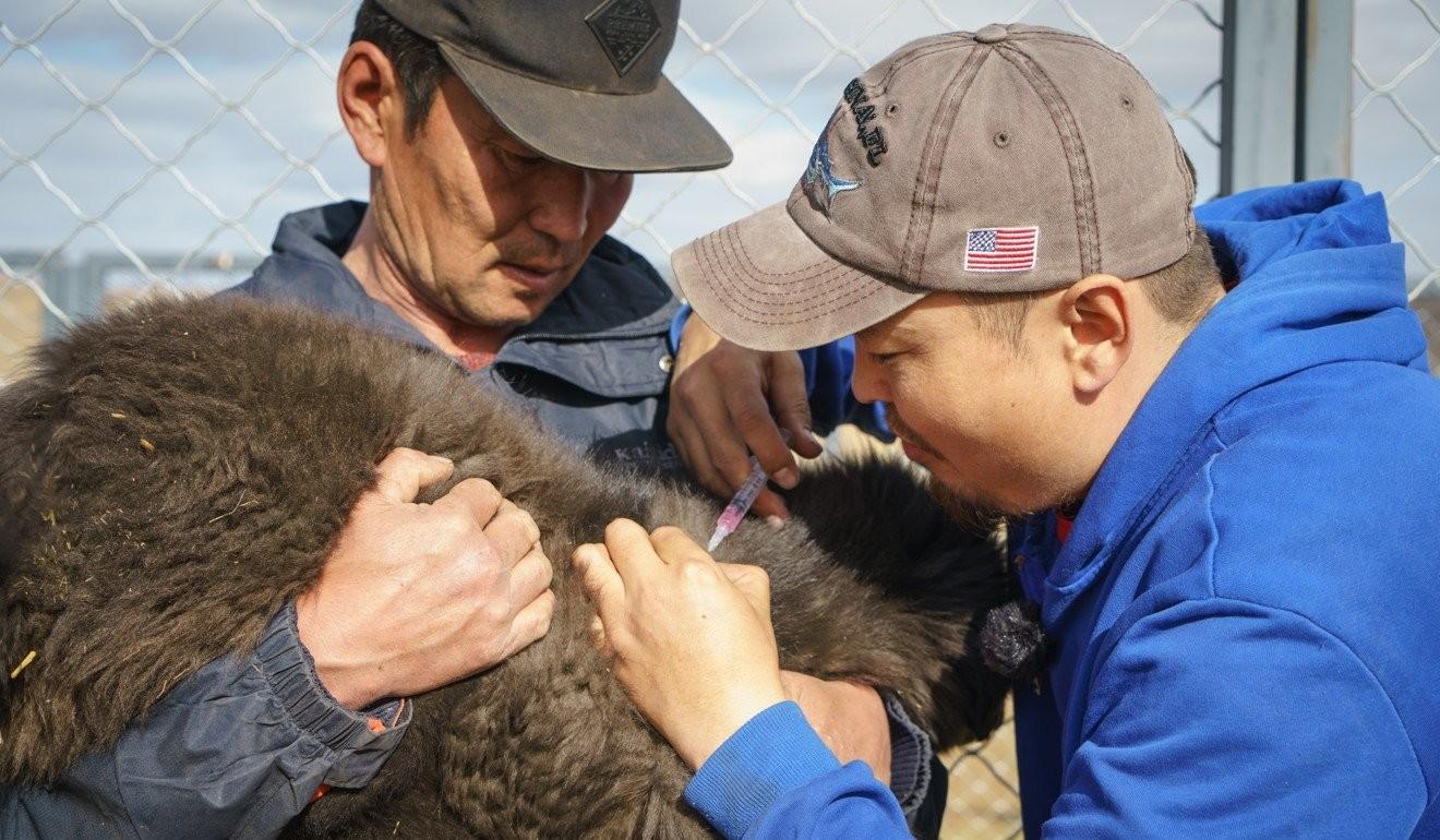 Мийгаа (зүүн талд) болон Монголын Банхар Нохойн Төслийн менежер Б.Төмөрбаатар гөлгөнд вакцин хийж байгаа нь.